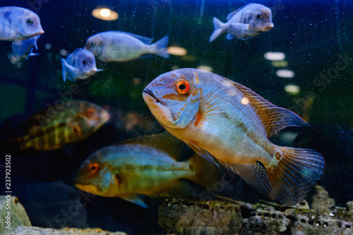 Exotic Tropical Fish Closeup Swimming Underwater Buy This Stock