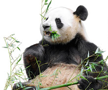 Giant Panda (Ailuropoda Melanoleuca) View From Front And Eating Bamboo Isolated On White Background