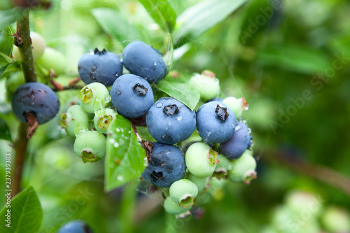 Close-up view at garden blueberry, ripe and green berries with leaves