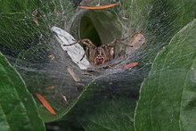 Outdoor Clsoe-up Photography Of A Funnel Spider.
