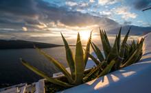 Aloe Vera At Sunset