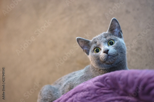 Foto  Cat of the breed Russian blue lies on the couch