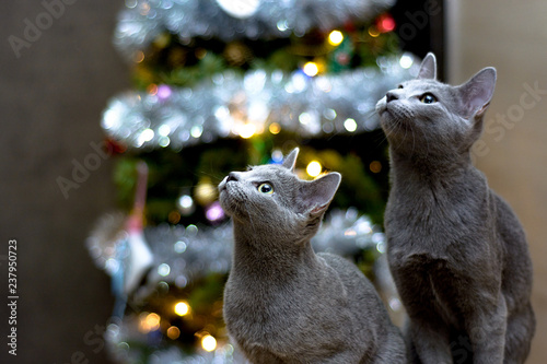 Fotografie, Obraz  Playful cat of the breed Russian blue on the background of the Christmas tree