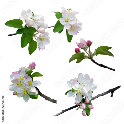 The apple tree is in blossom. Close-up. Isolated. Nature in spring. Blooming apple tree.