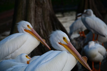 Great American White Pelicans Resting By A Lake