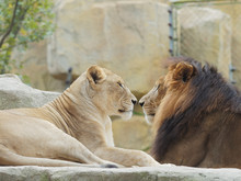 Portrait Of Lion And Lioness, Face To Face, Funny Relationship, Focused On The Lioness, Female One.