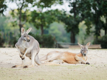 Portrait Of Two Kangaroos In N...