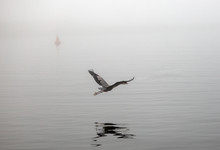 Great Blue Heron Flying On Foggy Morning In Morro Bay Central California Coastline United States