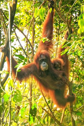 Female Sumatran orangutan with a baby hanging in the trees, Gunung Leuser National Park, Sumatra, Indonesia