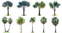 The Collection Of High Palm Trees (Livistona Rotundifolia Or Fan Palm.) Isolated On White Background.