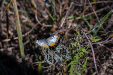 Common Mestra Butterfly