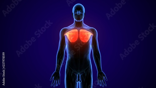 Fotografie, Tablou  3D illustration of Pectoralis Major, Part of Muscle Anatomy.