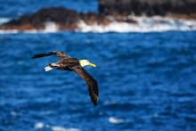 Waved Albatross In Flight On Espanola Island, Galapagos National Park, Ecuador