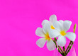 canvas print picture - Background with white tropical plumeria flowers on pink color background. Selective focus. Place for text