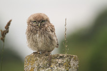 A Cute Baby Little Owl (Athene...