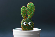 Funny Potted Opuntia Microdasy...