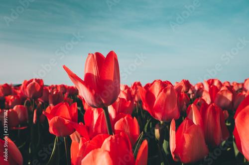 Fotobehang Tulp Red Tulips In The Garden