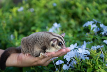 Sugar Glider Smells Blue Violet Flowers In Green Garden Over Female Owner Hand