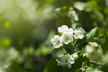 Flowers Of Hawthorn On A Branch With Leaves In The Rays Of The Morning Sun. Blooming Spring Tree.