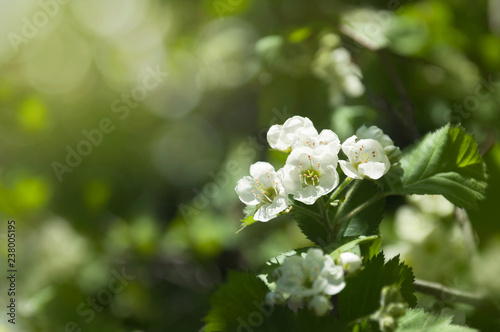 Fotografie, Obraz Flowers of hawthorn on a branch with leaves in the rays of the morning sun
