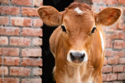 Leinwand Poster Cow calf standing in stall and looking in camara, forehead  view