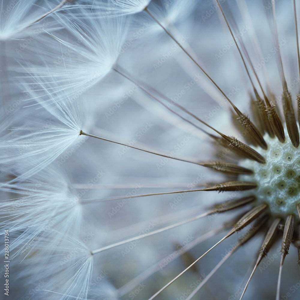 Fototapety, obrazy: the beautiful abstract dandelion flower in the garden in the nature