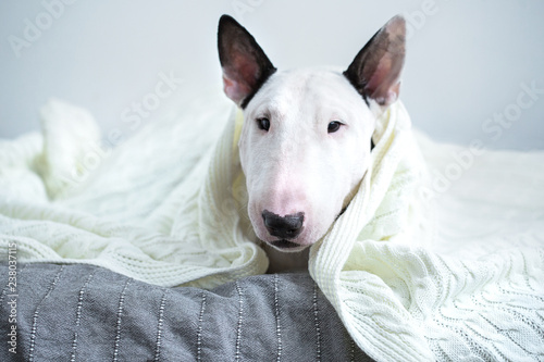 Fotomural A cute white English bull terrier is sleeping on a bed under a white knitted bla