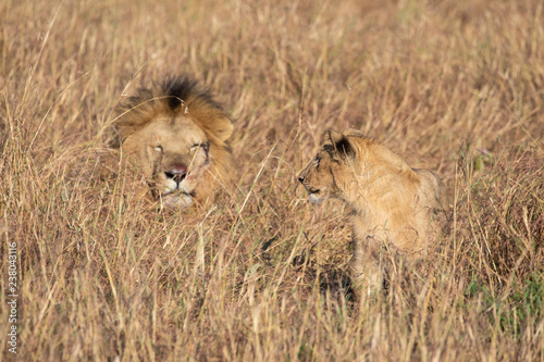 Fotografie, Obraz  Close up portraits of adult male Sand River or Elawana Pride lion, Panthera leo,