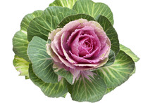 Ornamental Green With Pink Cabbage Flower Isolated On White Background