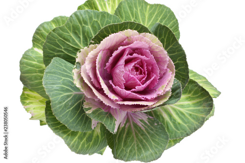 Carta da parati Ornamental green with pink cabbage flower isolated on white background