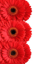 Red Gerberas Isolated On White Background