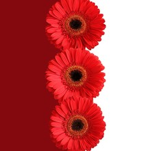 Tree Red Gerberas Isolated On Crimson And White Background