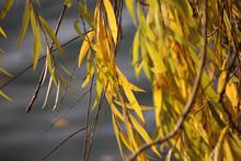 Blätter Einer Trauerweide, Gelb Gefärbt Im Herbst