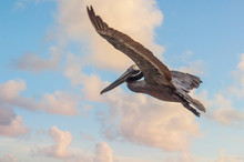 Beautiful Specimen Of Single South American Pelican Flying With Wings Open Over Ocean At Sunset With Cloudy Sky