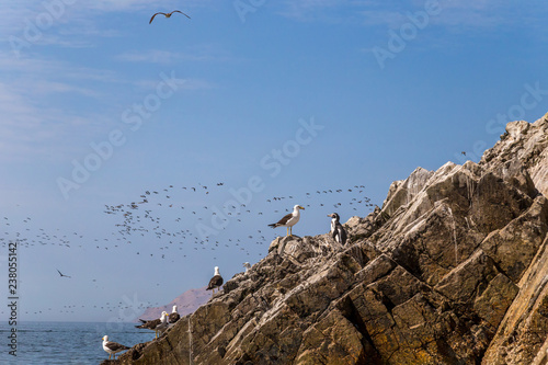 Penguins, seagulls and other birds in Islas Ballestas, Peru