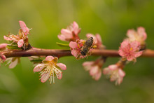Peach Blossom In April. Pink F...