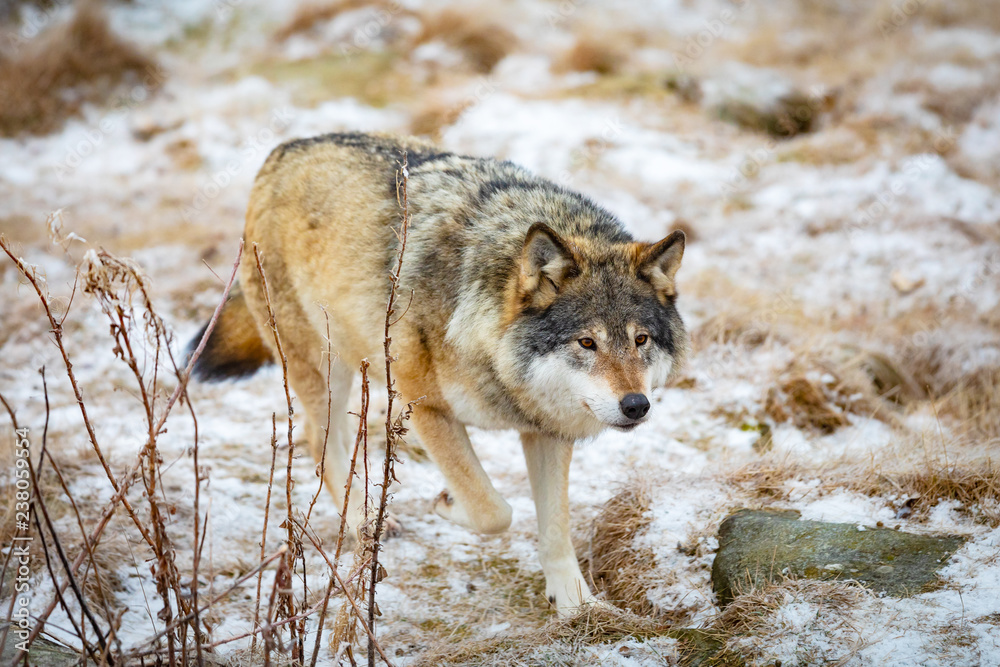 Magnificent wolf running in the forest in early winter