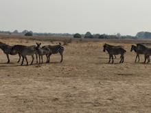 Zebras In Afrca