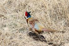 Common Pheasant - Phasianus Co...