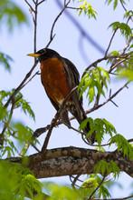 American Robin - Turdus Migrat...