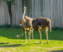 Group Of Female Common Ostriches Standing In The Grass Together, Big Flightless Birds From Africa
