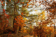 Beautiful autumn trees and pines in the forest. Orange and red trees illuminated by the sun on an autumn day. Fallen leaves. Calm sunny day.