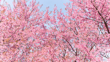 Beauty In Nature Of Pink Spring Cherry Blossom In Full Bloom  Under Clear Blue Sky.
