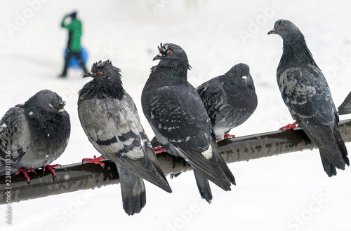 Wet urban pigeons are sitting on the crossbar during a snowfall on a blurred background with walking people. Selective focus.