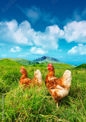 Stampa su Tela 2 hens roaming freely in the grass