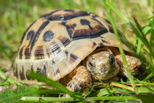 Young Steppe Tortoise On The G...