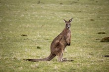 Cute Kangaroo Looking At You In Australia