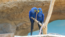 Two Hyacinth Macaws Sitting On...