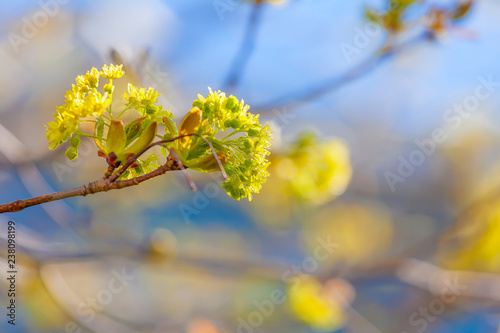 Maple flowers emerging in the spring against a blue sky.