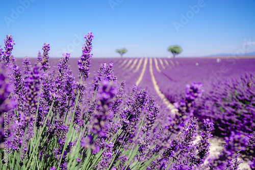 Photo Stands Lavender Champ de Lavende à Valensole, Aix-en-Provence, France